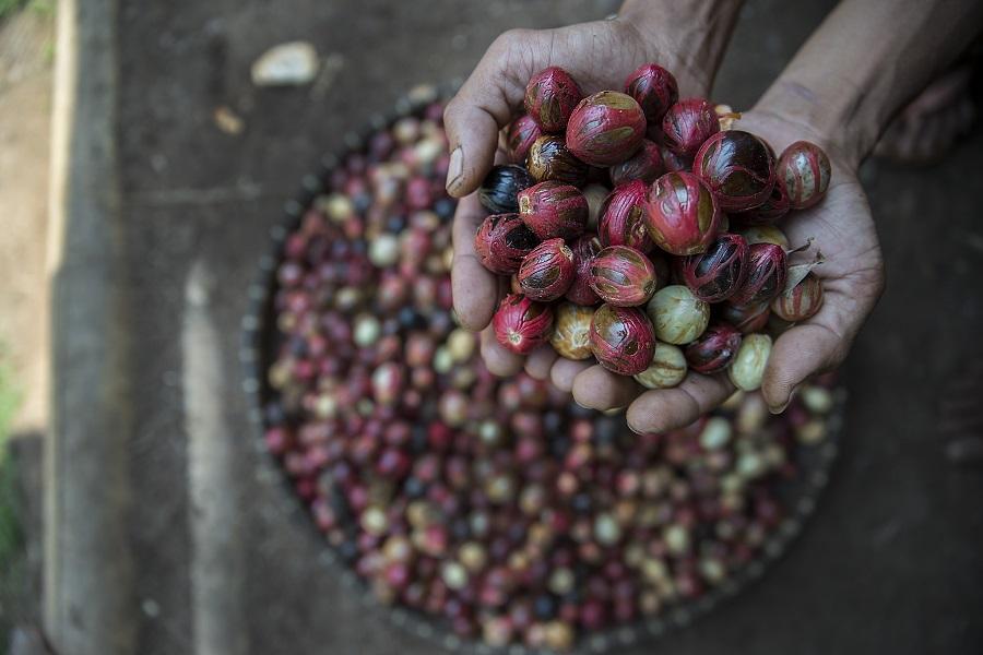 Seorang petani menunjukan pala segar yang baru saja diunduh. Foto oleh Agus Prijono