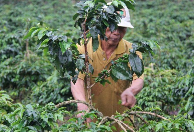 Petani Kopi Dampingan Akar Network sedang melakukan perawatan tanaman kopi