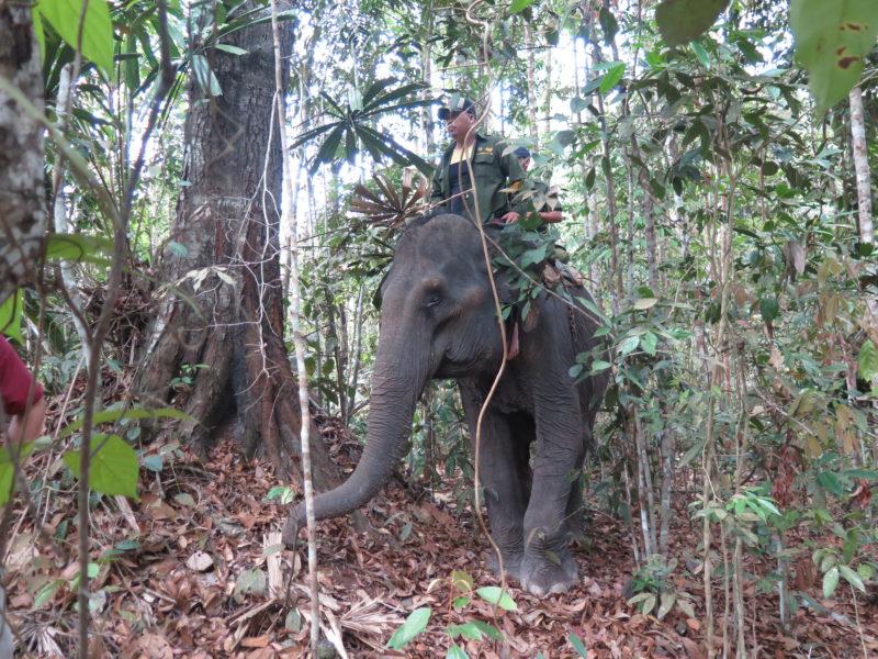 Gajah jinak didatangkan dari PKG Minas dalam operasi penyelamatan gajah sumatera di Jambi. Sebanyak tiga ekor gajah yang terisolir dan menjadi korban fragmentasi habitat akan dipindahkan ke habitat yang lebih baik. (foto by YKSLI)