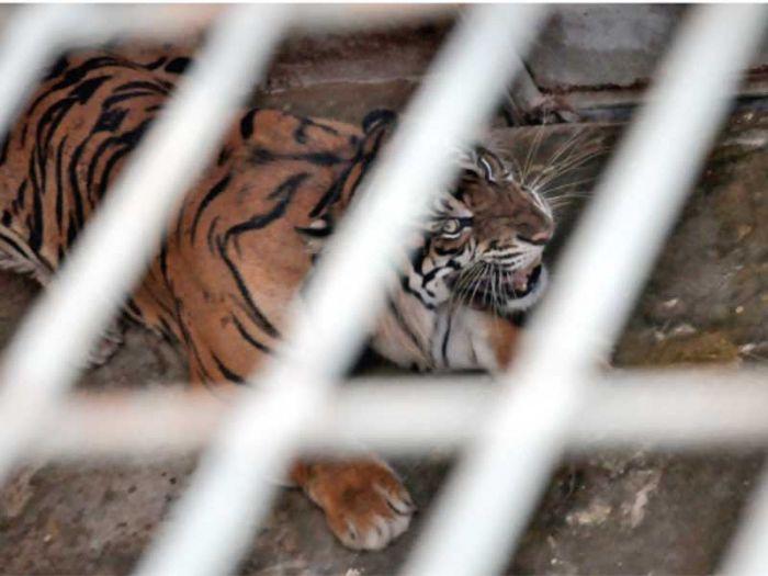 REHABILITASI: Seekor harimau sumatra berada di Barumun Nagari Wildlife Sanctuary (BNWS), Sumatra Utara (foto : Media Indonesia / Ari Terisiti)