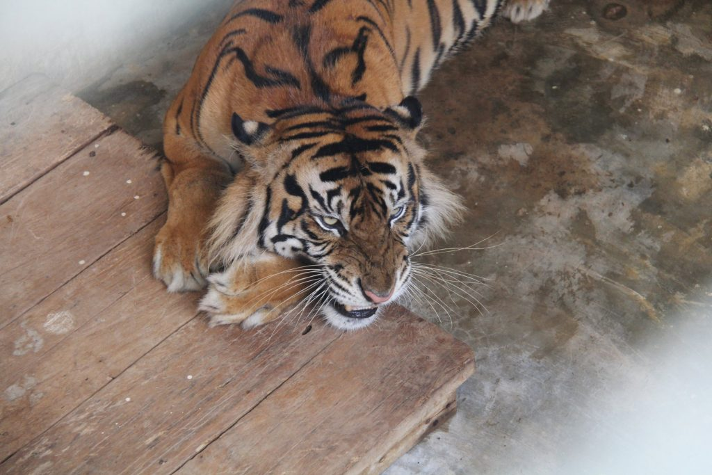 Monang, harimau Sumatra jantan korban jerat di Hutan Batang Toru, sedang berada di kandang isolasi. Monang dipisahkan dari Gadis dan 2 anaknya untuk menghindari kontak fisik dengan mereka.