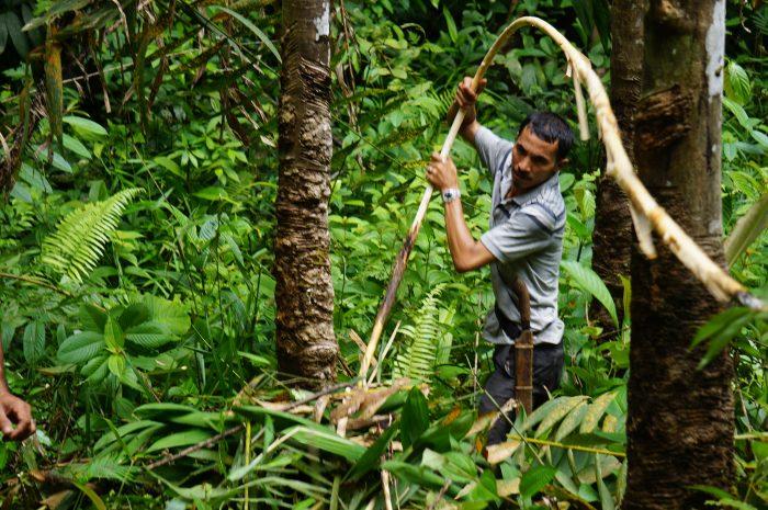 Seorang warga sedang memanen rotan di HKm Napasingkam, Desa Tarabintang