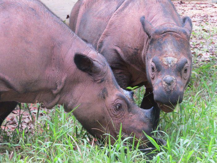 Badak Ratu dan anaknya, Andatu berada di Suaka Rhino Sumatera (SRS) Way Kambas, Lampung