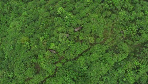 Kehadiran kembali gajah Sumatera di lokasi restorasi Cinta Raja 3.