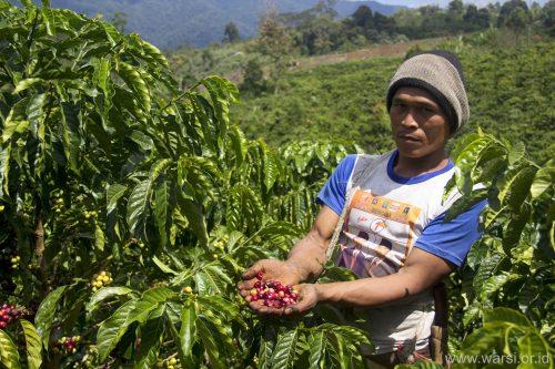 Masyarakat dampingan KKI-Warsi memanen kopi robusta di Desa Serampas.